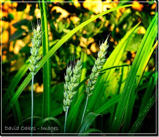 Wheat-Ears