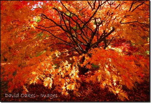 Autumn-Gold-OAKES