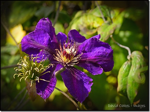 Clematis-w1