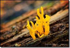 Yellow-Antler-Fungi-2
