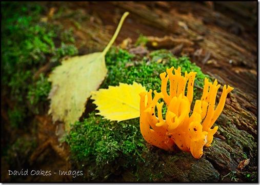 Yellow-Antler-Fungi-x