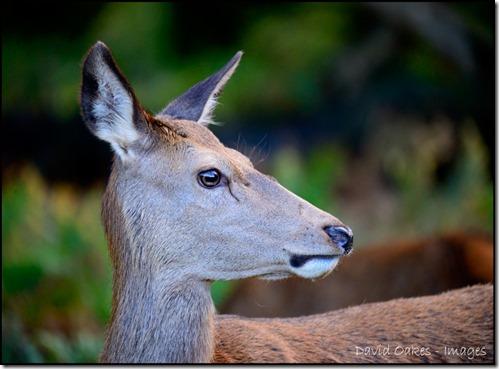 Deer-20