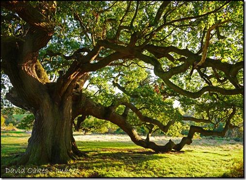 Oak-in-the-Evening-Light