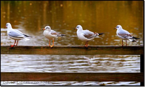 Four-Gulls-in-a-Row-2