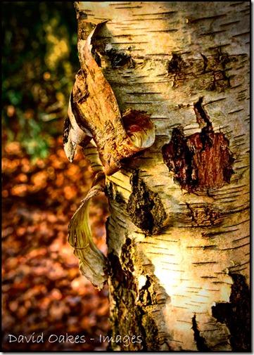 Birch-2