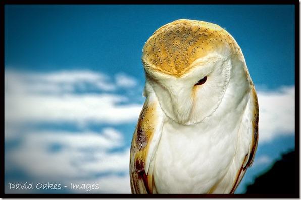 Snowy-the-Barn-Owl_