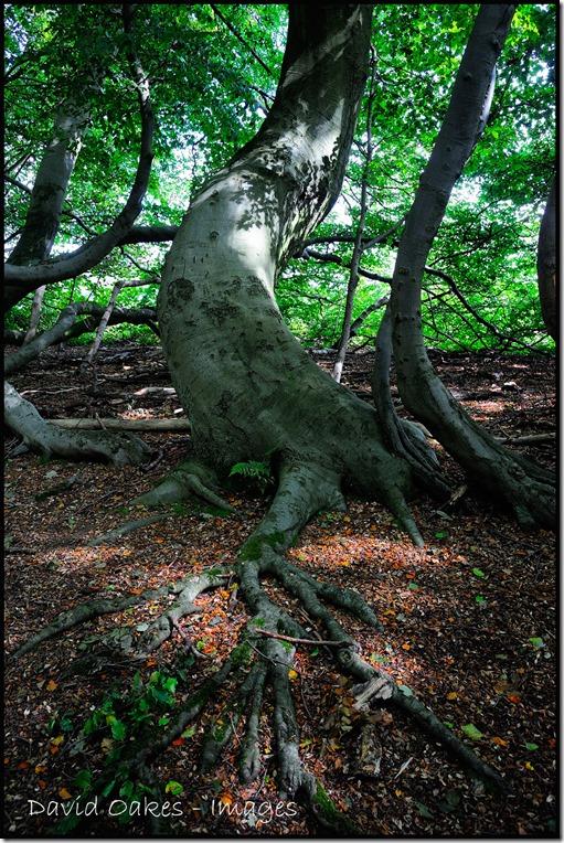 27.8-Beech-Roots