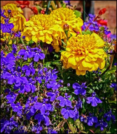 Lobelia-and-marigolds.jpg