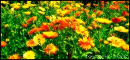 Marigold-2.jpg