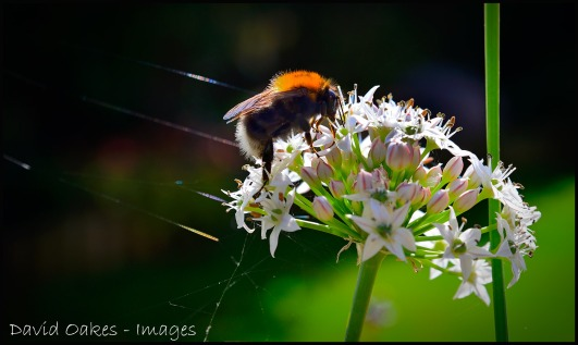 Bee-and-Chives-2