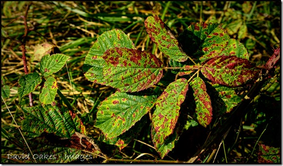 Bramble-Leaves-Turning