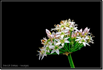 Chives-3