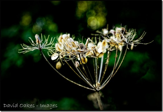 Cow-Parsley-Seed