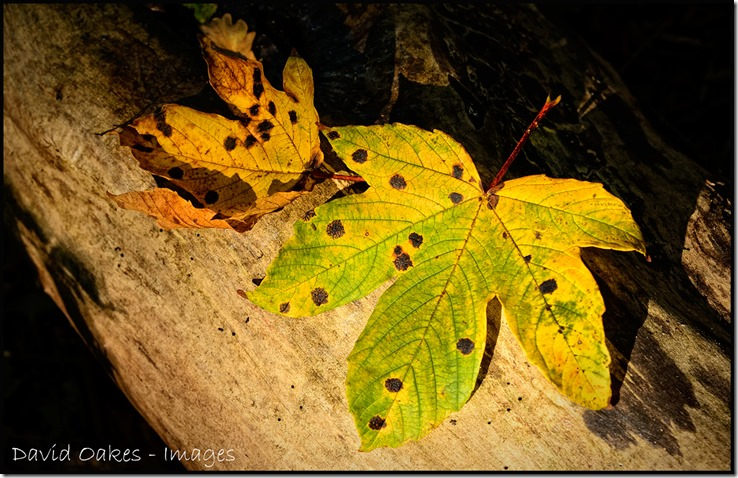 Fallen-Leaves-Sycamore