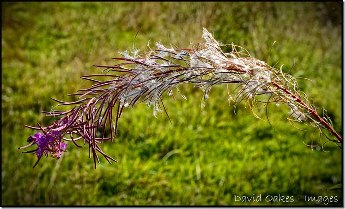 Last-of-the-Willowherb
