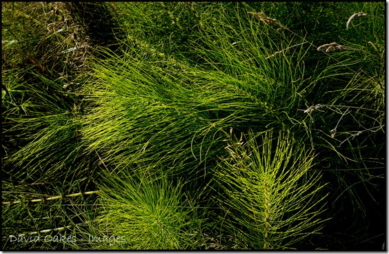 Mares-Tails-Grasses