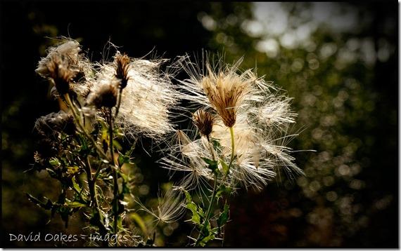 Thistle-Seed-2