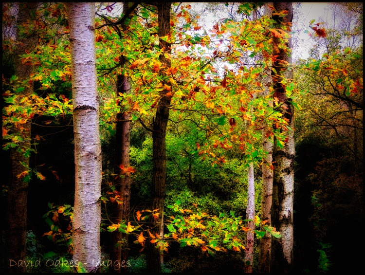 Oak-between-the-Birch