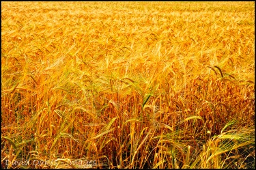 Nearly-Harvest-Time-2