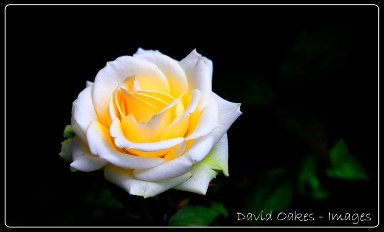 Evening-Rose-5