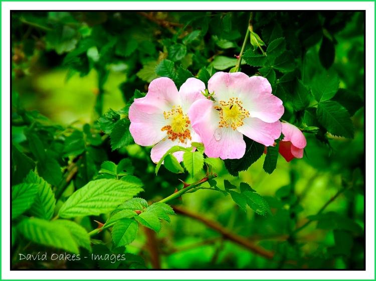 Wild-Dog-Rose