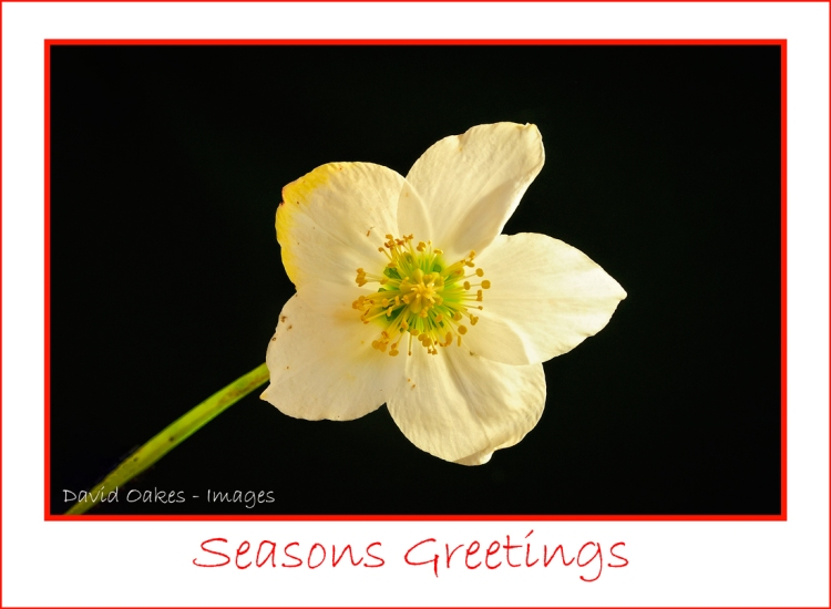 Christmas-Rose-11788-(2)-with-Greeting