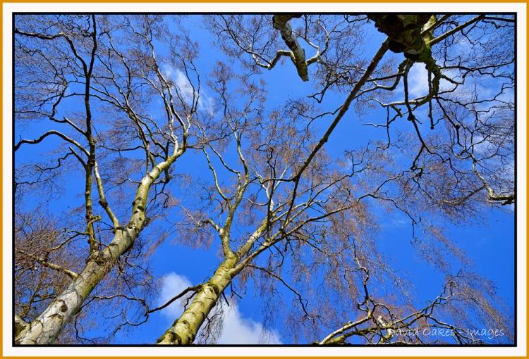 Silver-Birch-Spring
