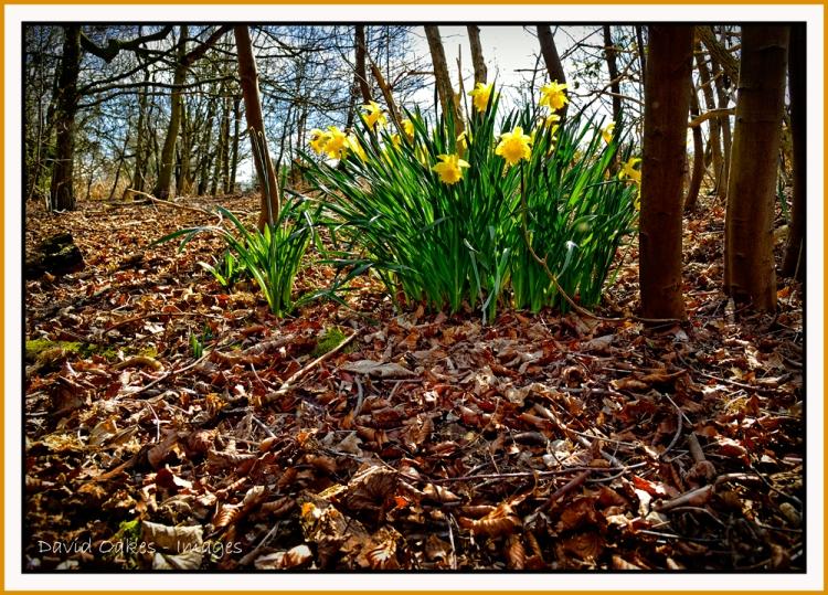 Woodland-daffs