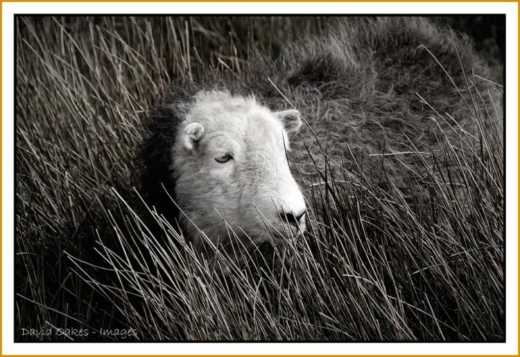 Herdwick-Ewe
