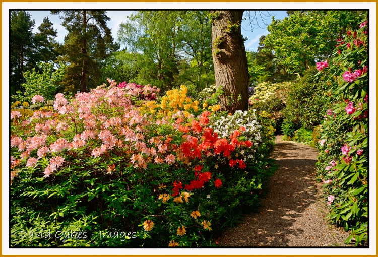 Ravishing Lea Rhododendron Gardens  David Oakes Images With Fascinating Lea Rhododendron Gardens Derbyshire With Archaic Garden Cane Toppers Also Gauntlet Gardening Gloves In Addition Bright Garden Furniture And Tools Used For Gardening As Well As Spin And Explore Garden Gym Additionally Karcher Garden Hose From Davidoakesimageswordpresscom With   Fascinating Lea Rhododendron Gardens  David Oakes Images With Archaic Lea Rhododendron Gardens Derbyshire And Ravishing Garden Cane Toppers Also Gauntlet Gardening Gloves In Addition Bright Garden Furniture From Davidoakesimageswordpresscom