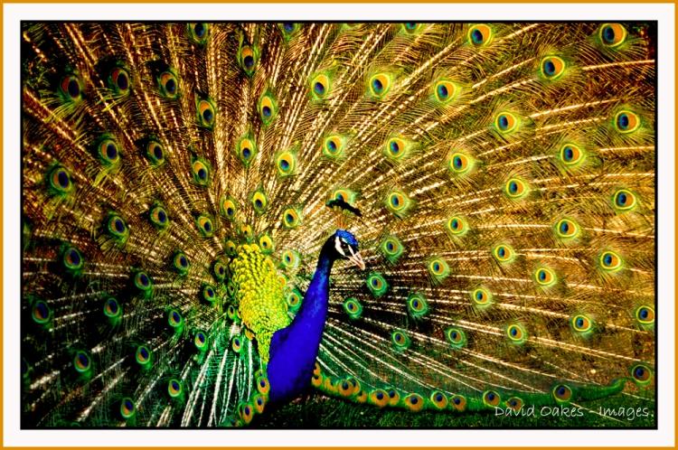 Peacock-web