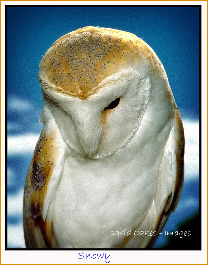 Snowy the Barn Owl_.jpg