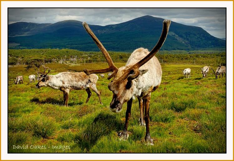48-Reindeer-on-Airgiod-Meall,-Cairngorms,-Scotland-0399_renamed_23866-bb-tt