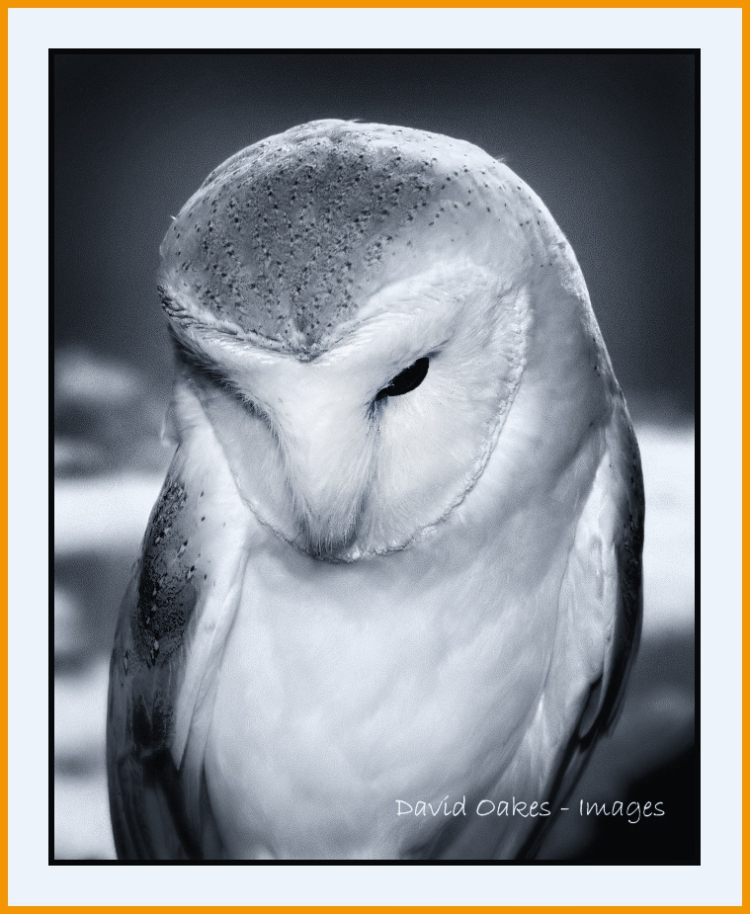 snowy-the-barn-owl_bw