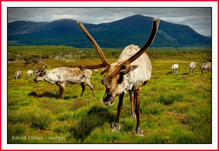 48-reindeer-on-airgiod-meall-cairngorms-scotland