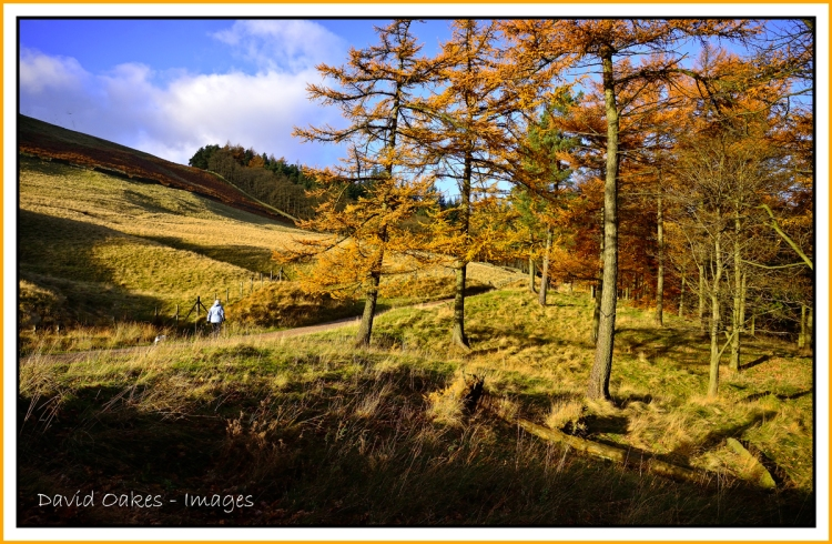 larch-in-the-upper-derwent-valley