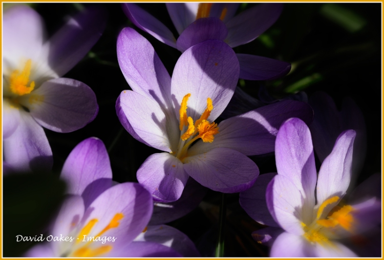 crocus-feb