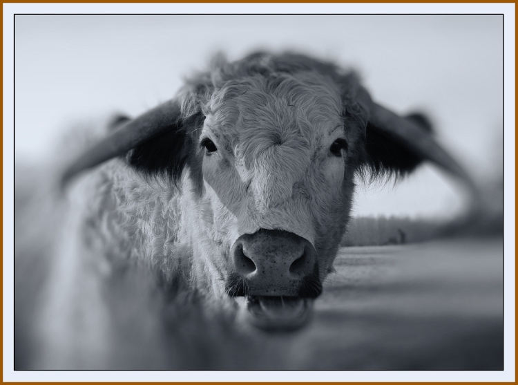 LONG-HORN-COW-Portrait-2 bw