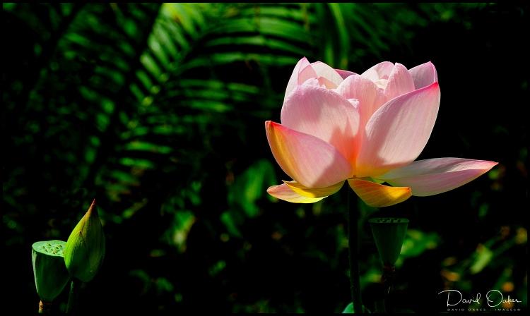 -Lotus-Flower
