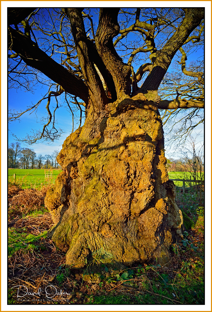 The-Old-Man-of-Calke-1000-+-year-old-Oak.jpg
