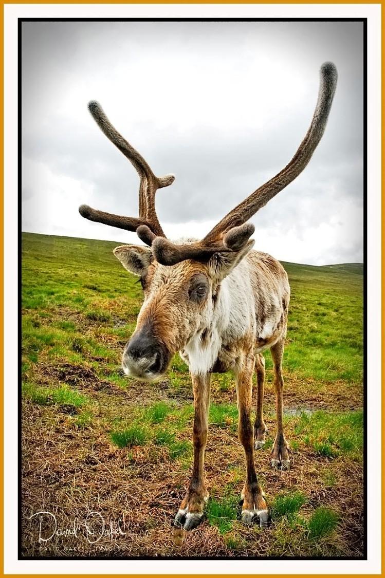 47-Reindeer-on-Airgiod-Meall,-Cairngorms,-Scotland-001_renamed_22355-bbtt_filtered