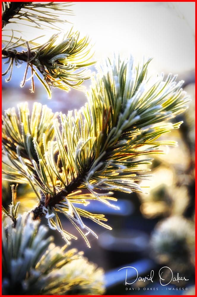 Christmas-Pine