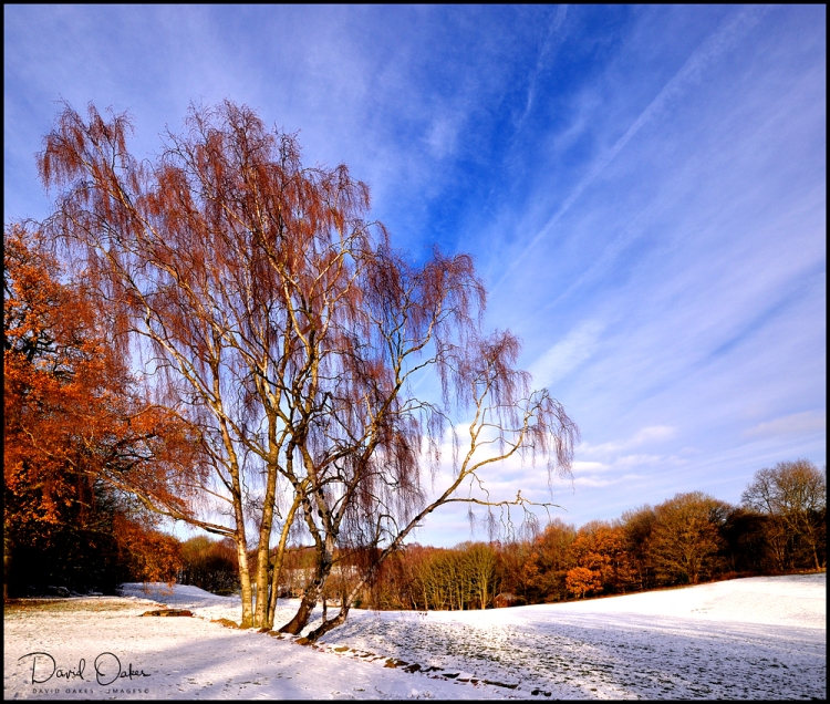 Silver-Birch-in-Snow