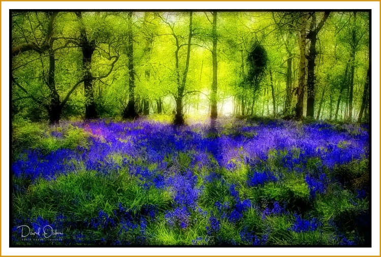 Bluebells-evening-