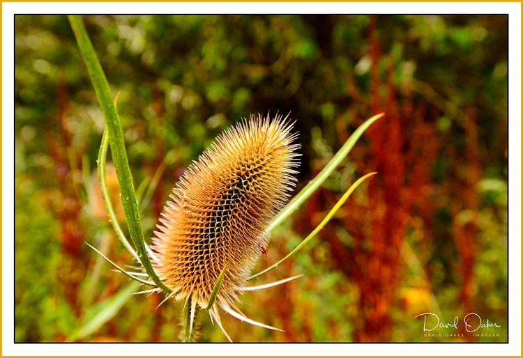 Teasel-Time