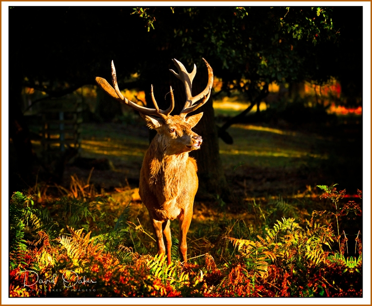 Red-Deer-Stag copy