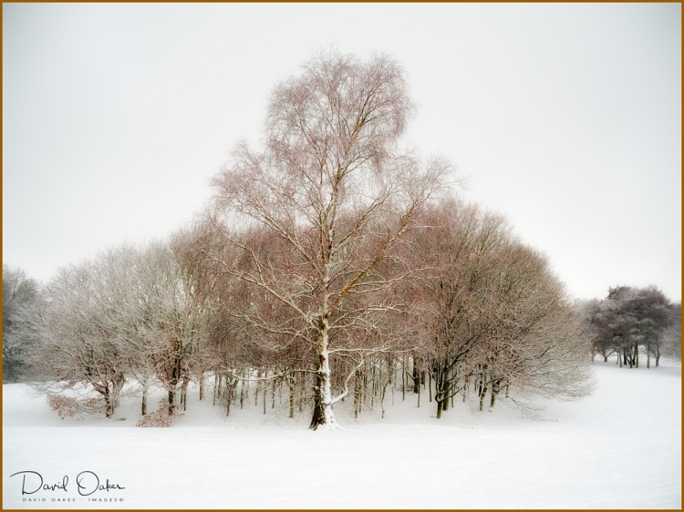Birch-in-Snow