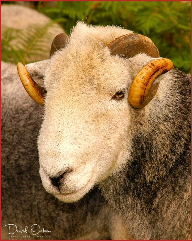 Herdwick-Ram
