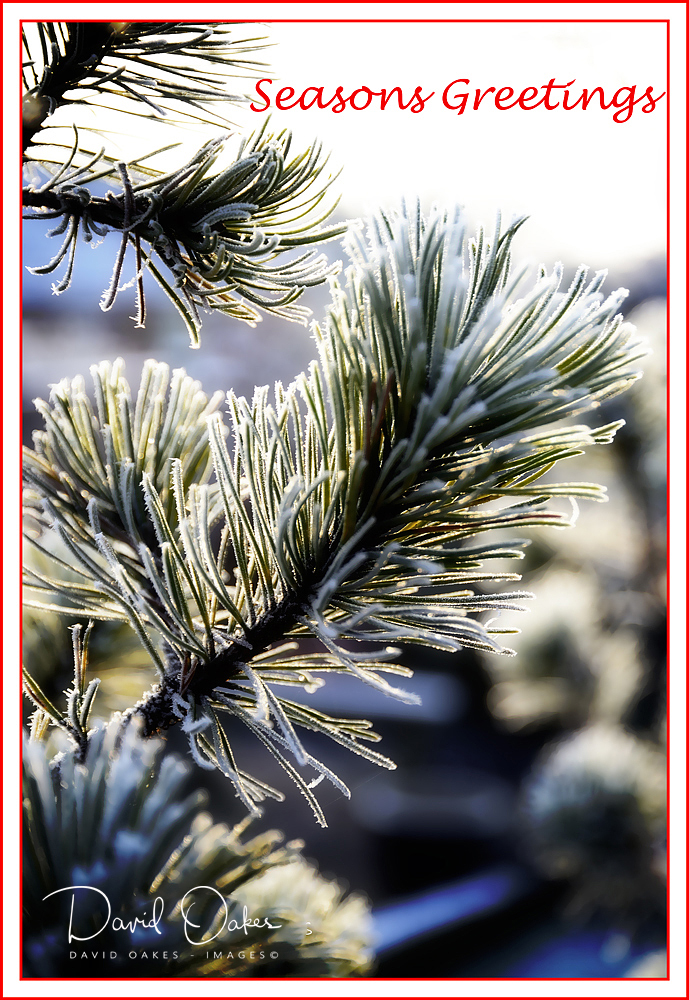 Scots-Pine-in-Snow-greeting