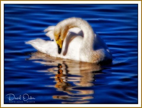 swan - copy